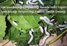Evde İpek Böceği Yetiştiriciliği Nerede Nasıl Yapılır? (DETAYLI)
